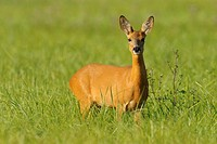 Roe deer in summer, Capreolus capreolus, Germany