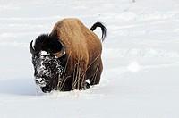 Buffalo (Bison bison)
