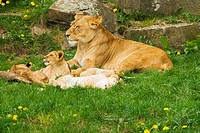 lioness _ lying with cubs / Panthera leo