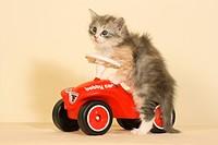 Sibirian forest cat _ kitten sitting on Bobby car