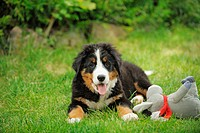 Bernese Mountain dog _ puppy lying on meadow