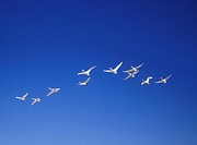 Swan flying in sunny sky, blue background, copy space, Hokkaido prefecture, Japan