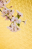 Cherry blossoms against golden background