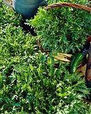 Cichorium endivia var. crispum