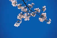 Cherry flowers on branch, blue background