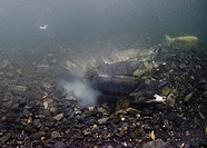 Underwater view of three male chum salmon spawning with one female in a stream, Hartney Bay, Alaska