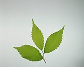 Zelkova leaves