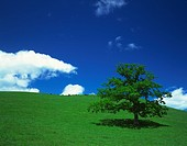 Tree on a field, with cows grazing on a paddock in the background. Kamishihoro_machi, Hokkaido, Japan