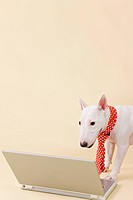 Miniature Bull Terrier looking at laptop, colored background, copy space