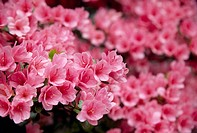 Azalea, close up