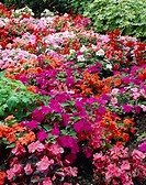 Impatiens, Begonia mixed