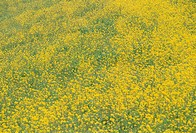 Field of rape blossoms, full frame, Fukuoka prefecture, Japan