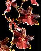 Beautiful Black serie: Cambria red