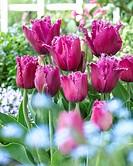 Tulipa Traveller ®