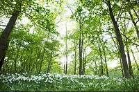 Daffodils in woodland forest