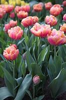 Tulipa Impressario ®