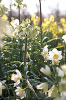 Narcissus, Fritillaria raddeana