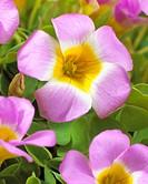 Oxalis Lucky Pink