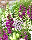 Digitalis purpurea Camelot mixed