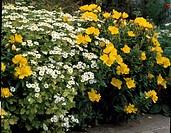 Oenothera + Chrysanthemum