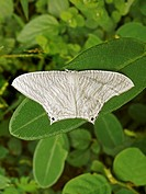 Black striped white moth, Bhopal, Madhya pradesh, India
