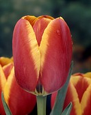 Tulipa darwinhybrid World´s Favourite