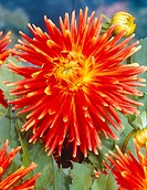 Dahlia cactus Top Choice