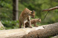 bobcat and kittens