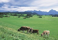 Cows grazing at the foothills of the Alps, Allgaeu, Bavaria, Germany