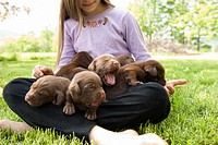 3 week old labrador retriever puppies sitting in lap of adolescent girl who is caring for them on lawn