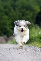 Dog running on path, front view