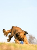 Berger de Briard running, full shot