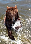 Bathing brown bear, Ursus arctos, Bernburg zoo, Saxonia_Anhalt, Germany, Europe