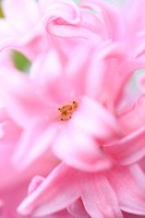 Highly Fragrant Pink Hyacinth-fine art photography © Jane-Ann Butler Photography JABP358 RIGHTS MANAGED
