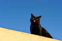 Black Domestic Cat, Felidae, Santorini, Greece, Europe, Domestic cat, domestic cats, cat, cats, black, sitting, domestic animal, domestic animals