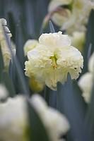 Narcissus Sunnyside Up