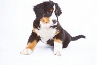 Baby Bernersennen Hund