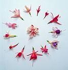 Fuchsia varieties on paper