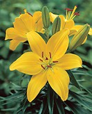 Lilium asiatic Butter Pixie