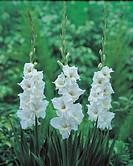 Gladiolus large_flowering May Bride