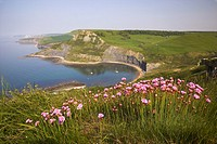 View of Chapmans Pool and Egmont Point with Kimmeridge in the distance and Thrift in the forground Dorset