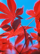 Japan Red Maple