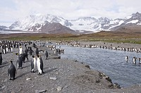 King penguins, St. Andrews Bay, South Georgia, South Atlantic