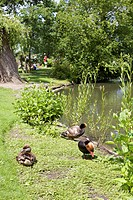 Ducks by a pond, Queen Marys Gardens, Regents Park, London, England, United Kingdom, Europe