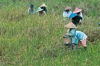 Women picking rice, Serian, Sarawak, Malaysian Borneo, Malaysia, Southeast Asia, Asia