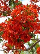 Thailand blooming flametree
