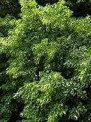 lime tree blossom