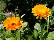 Calendula officinalis Pot Marigold medicinal plant