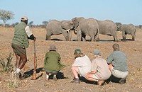 Walking_safari group with ranger watching Elephant herd Loxodonta africana, Zimbabwe