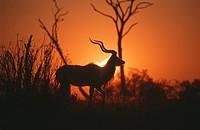 Silhouette of Greater Kudu Tragelaphus strepsiceros, Hwange, Zimbabwe